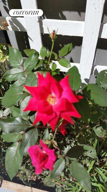 Self watering garden with roses, Trees, & Berries